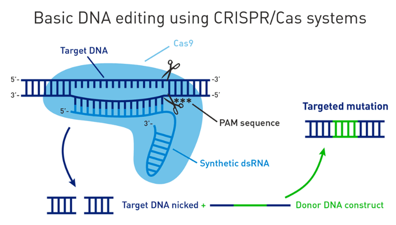 How does CRISPR work